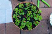 L'enracinement/de multiplication des plantes étalement-y