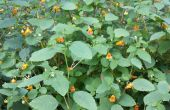 Poison Ivy remède avec impatientes