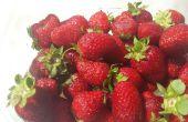 Cultiver vos propres fraises grands