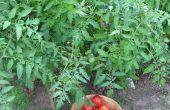 Roma dimanche - 15 Minute pression conserves tomates Roma sans eau ou de jus