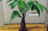 Transplantation d'une plante d'intérieur pour le plus grand pot (sans avoir à acheter une chose!)