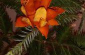 Fleur d'oranger à feuilles persistantes