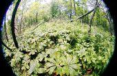 Récolte de podophyllotoxin naturel dans votre forêt locale pour traiter les verrues génitales