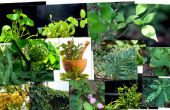 COLLECTE de plantes AYURVÉDIQUES