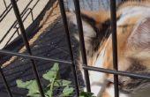 Façons de donner les médicaments de chat à la maison, mettant en vedette âgée chat calico SMART