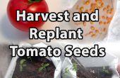 Comment récolter et de replanter des semences de tomates