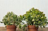 Jade de plantes : Si facile pour prendre soin d'à la maison & dans le jardin