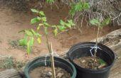 TRANSPLANTATION arbres de noix de pécan