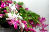 Pousse une « pelouse » de Truncata pendant les vacances (et le reste de l'année)