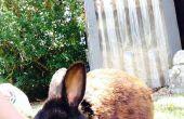 Comment se brosser un lapin !