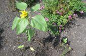 Miracle-grandissent vraiment affecte la croissance du tournesol plante au cours de la germination et les premiers stades de croissance de la plante après ?