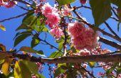 Préservé des cerisiers en fleurs
