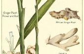 Cultiver le gingembre comme plante d'intérieur