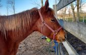 Clouant un cheval