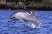 Comment faire un dauphin