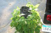Comment faire pousser une verticale Lima & jardin potager haricot vert