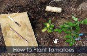 Plants de tomates - plantation ligoté et Guide de plus en plus