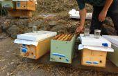 Comment établir une colonie d'abeilles de noyau (et empêcher l'essaimage ruches établie)