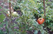 Cultiver des tomates de graine