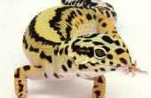 Comment se reproduisent les Geckos léopards