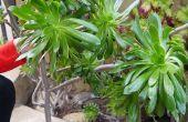 Comment prendre des boutures de mon Aeonium Arboreum