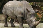 Comment les exécuter un rhinocéros