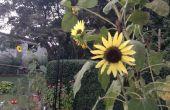 Comment récolter les graines de tournesol ornementales