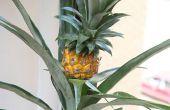 Comment faire pousser des ananas