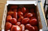 Culture de tomate été gel