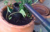 Arrosage facile fraise planteur