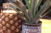 Démarrer une plante Ananas