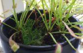 Culture/soins de Drosera capensis -