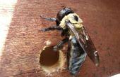 Faire des pièges abeille charpentière