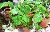 Comment planter un Pot de fraises avec des fraises