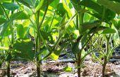 La pollinisation de soja à la main