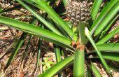 Comment faire pour grandir ananas