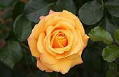 Citron Rose bain sel