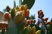Comment manger de figue de barbarie, alias les fruits de cactus, alias thons