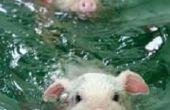 Piggys !