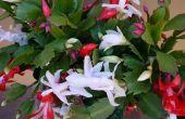 Comment obtenir votre Cactus de Noël à fleur à nouveau