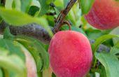 Top 5 raisons pour éclaircir un Fruit Tree & comment faire....
