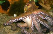 Comment chasser et creuser les Octopus
