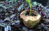 Comment faire un planteur de noix de coco jeunes écologique