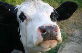 Comment faire une tarte à la vache