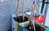 Enracinement des figues (et autres boutures de bois dur)