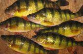 La perchaude pêche