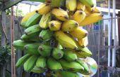 Green frites de banane Français