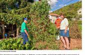 PLANT de tomate cerise biodynamique SELKE - le Plant de tomate céleste ces ordures terrestre mange (restes de Table)
