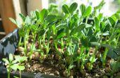 Cultiver des semis