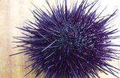 BRICOLAGE Uni Sushi. Vivre la Dissection de l'oursin en Photos